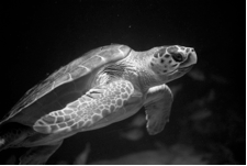Sea Turtle Black and White
