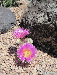 Pink Cactus 1