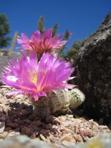Pink Cactus 4 weird focus