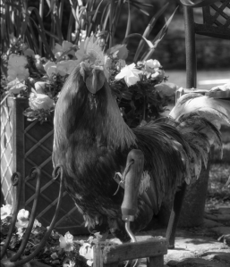 Rooster image b&w