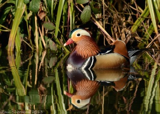 (B) Mandarin Upon Reflection Paul Sherman
